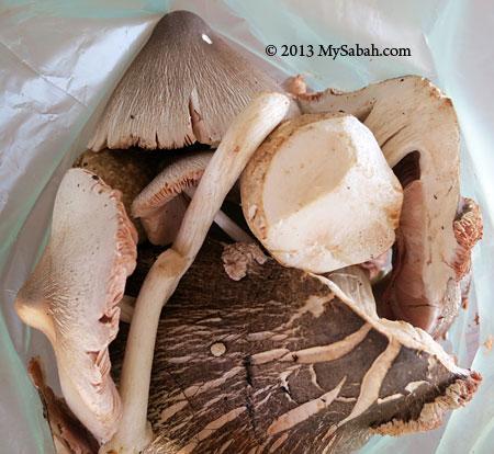 oil palm fungus