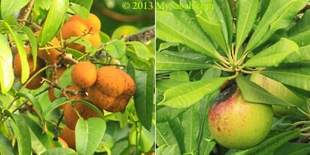 mangrove fruits