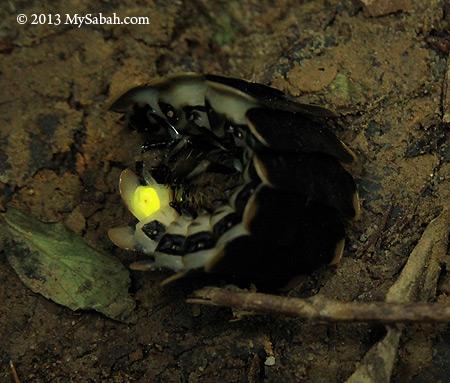 glow-worm