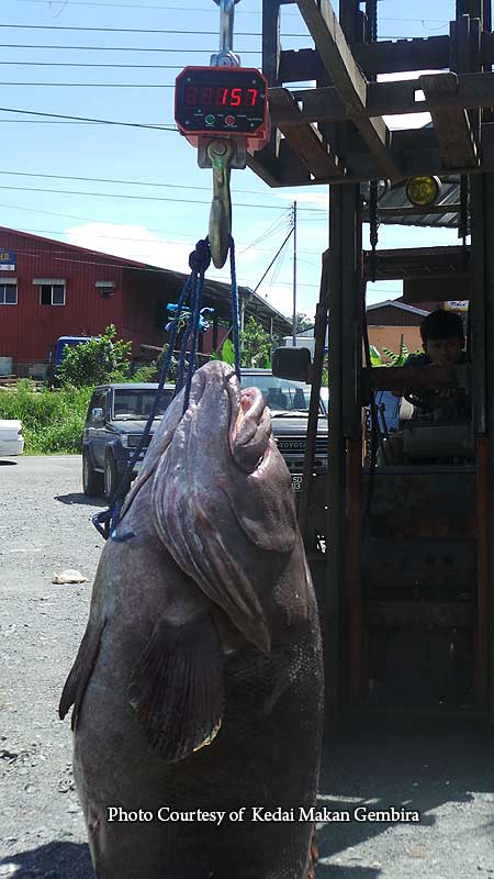 giant grouper weighs over 150 Kg