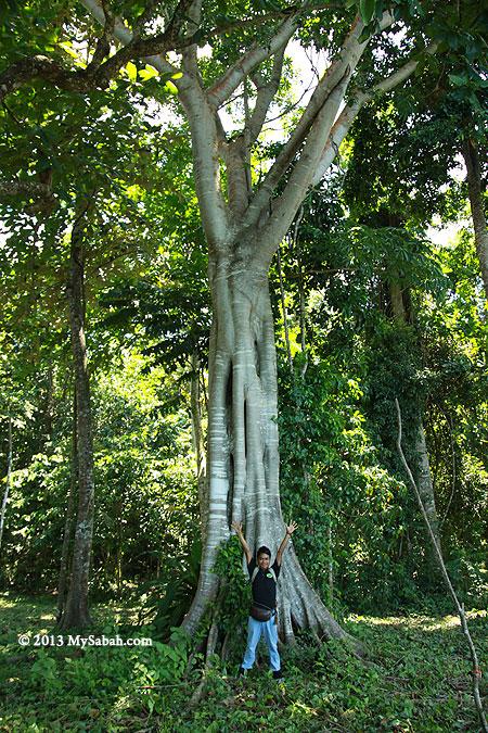 Nunuk tree