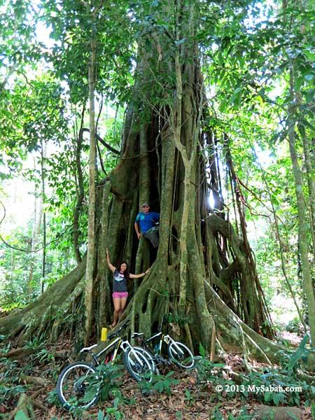 big tree in Taliwas forest