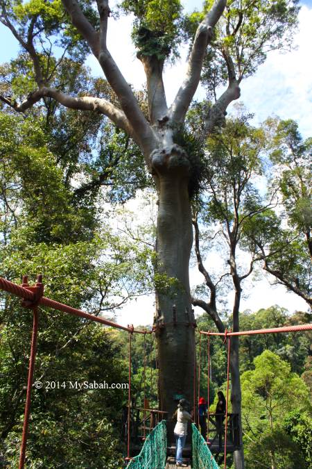 canopy tree walk on Menggaris tree