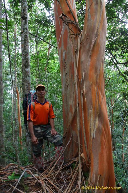 Tristaniopsis tree with peeled off bark