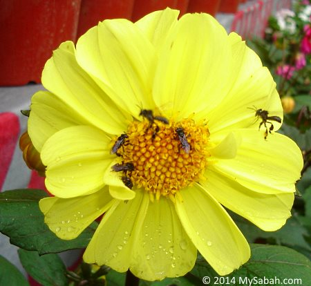 stingless bees collecting nectar