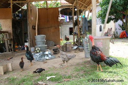 Kampung Sumangkap and chicken
