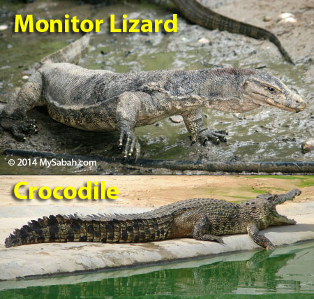 Lizard Vs Crocodile