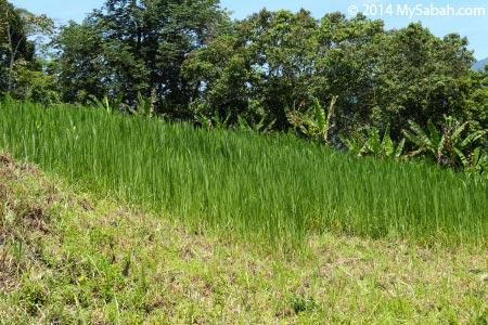 grasses for goats