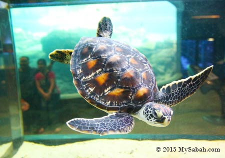 juvenile sea turtle in fish tank