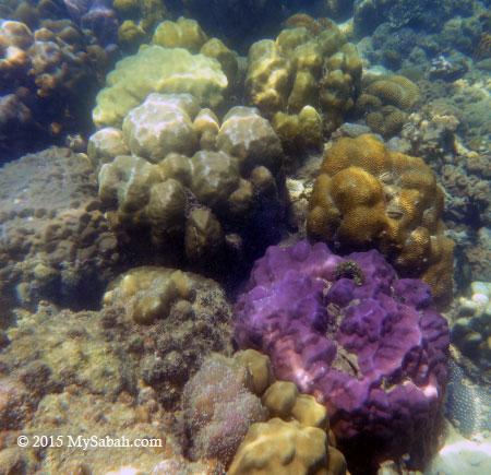 boulder corals