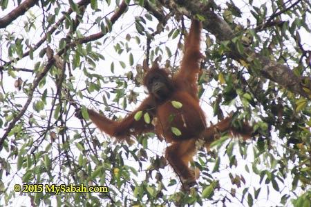 orangutan on the tree
