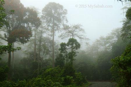 misty forest of Deramakot
