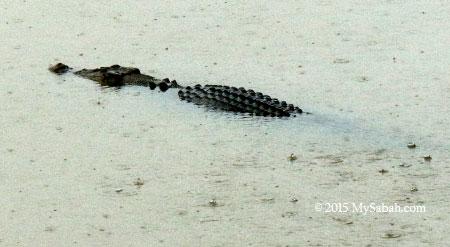 crocodile in oxbow lake