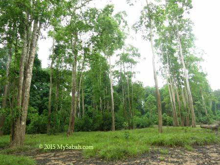 stand of tall trees at Tanjung Bulat Oxbow Lake