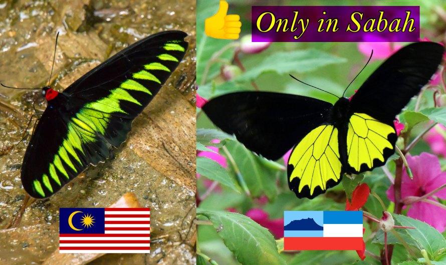 Butterflies of Sabah Borneo