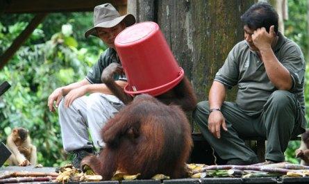 Cute orangutan