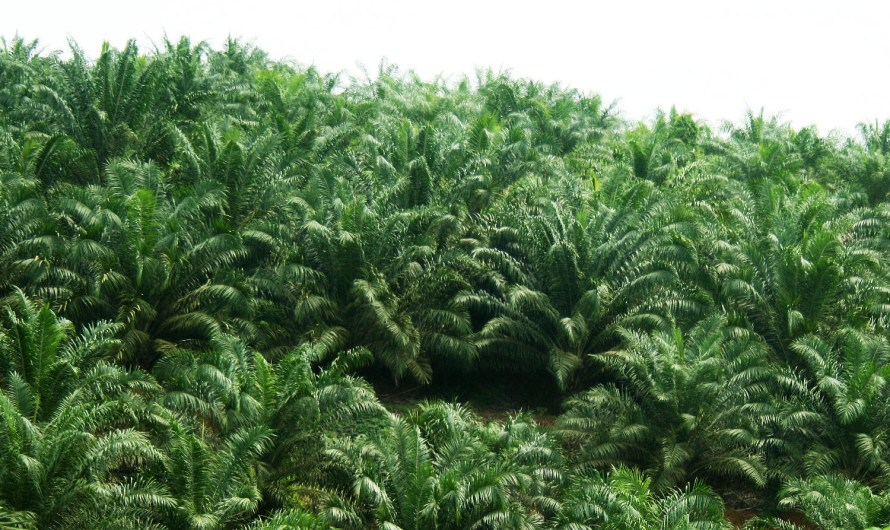 The Land below the Oil Palm