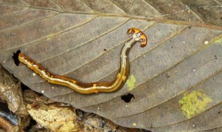 hammer head worm