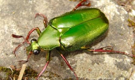 Kinabalu Park beetle
