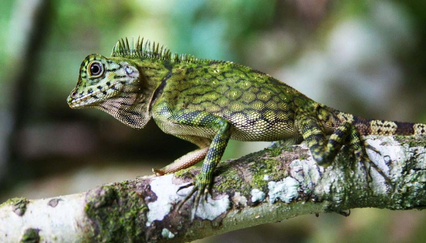 lizard of Tawau Hills Park