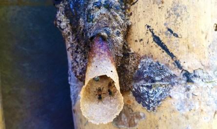 Stingless bee (Kelulut)