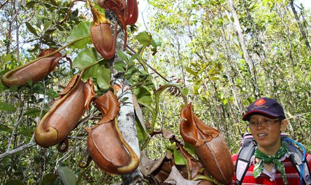 Pitcher plant in heath forest of Maliau Basin