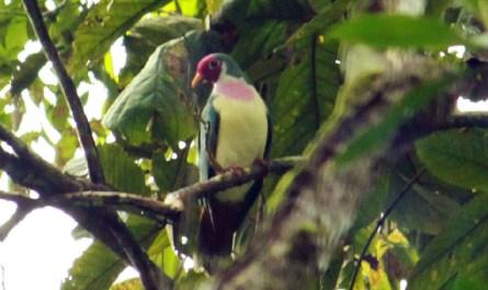 Jumbo Fruit Dove