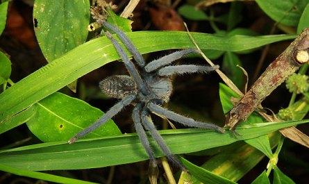 Malayan Tiger Spider
