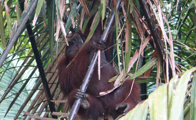 orang-utan of Borneo