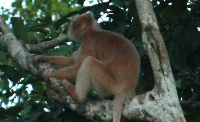 Silver Leaf Monkey (white form) of Sabah Borneo
