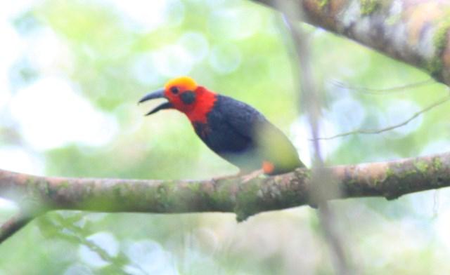 Bornean Bristlehead, the superstar bird of Borneo