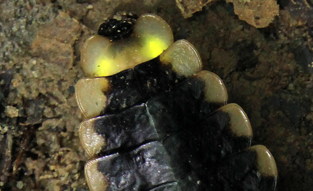 Glow Worm of Borneo