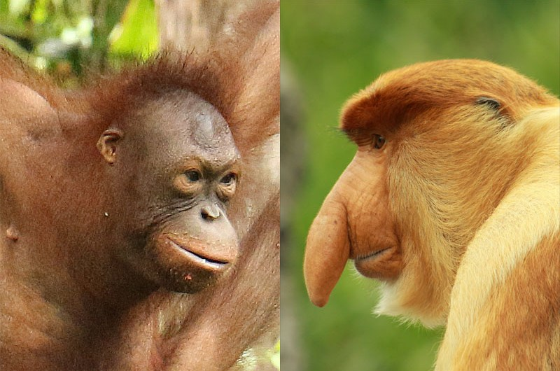 Where to see Orangutan, Proboscis Monkey, Sunbear, Pygmy Elephant and Hornbill of Borneo