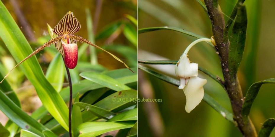 Rothschild slipper orchid (Paphiopedilum rothschildianum) and Santa Claus orchid