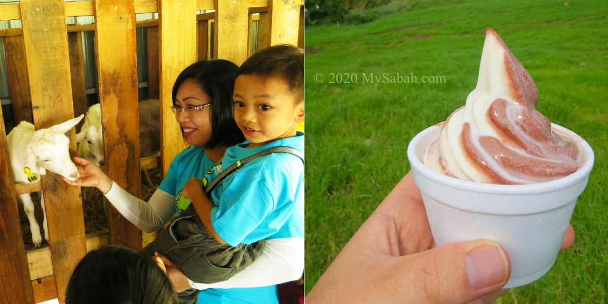 Feeding little lamb and trying the ice cream in DESA Cattle Farm