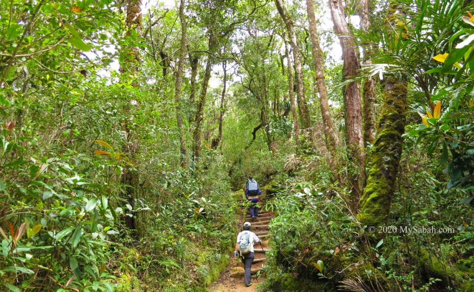 Jungle trekking in mountain forest of Kinabalu National Park
