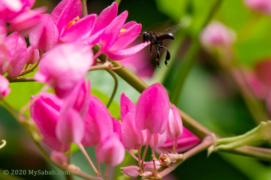 Stingless bee flying to Honolulu Creeper (Antigonon leptopus) flowers