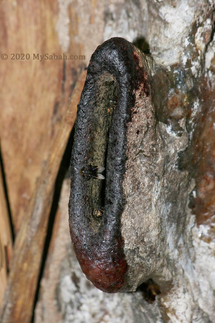Big entrance of stingless bee nest. Found in Gaya Island, off Kota Kinabalu city