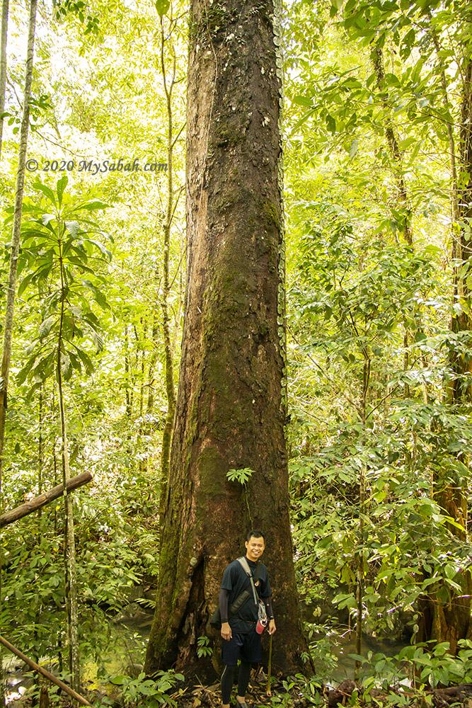 Telupid tree