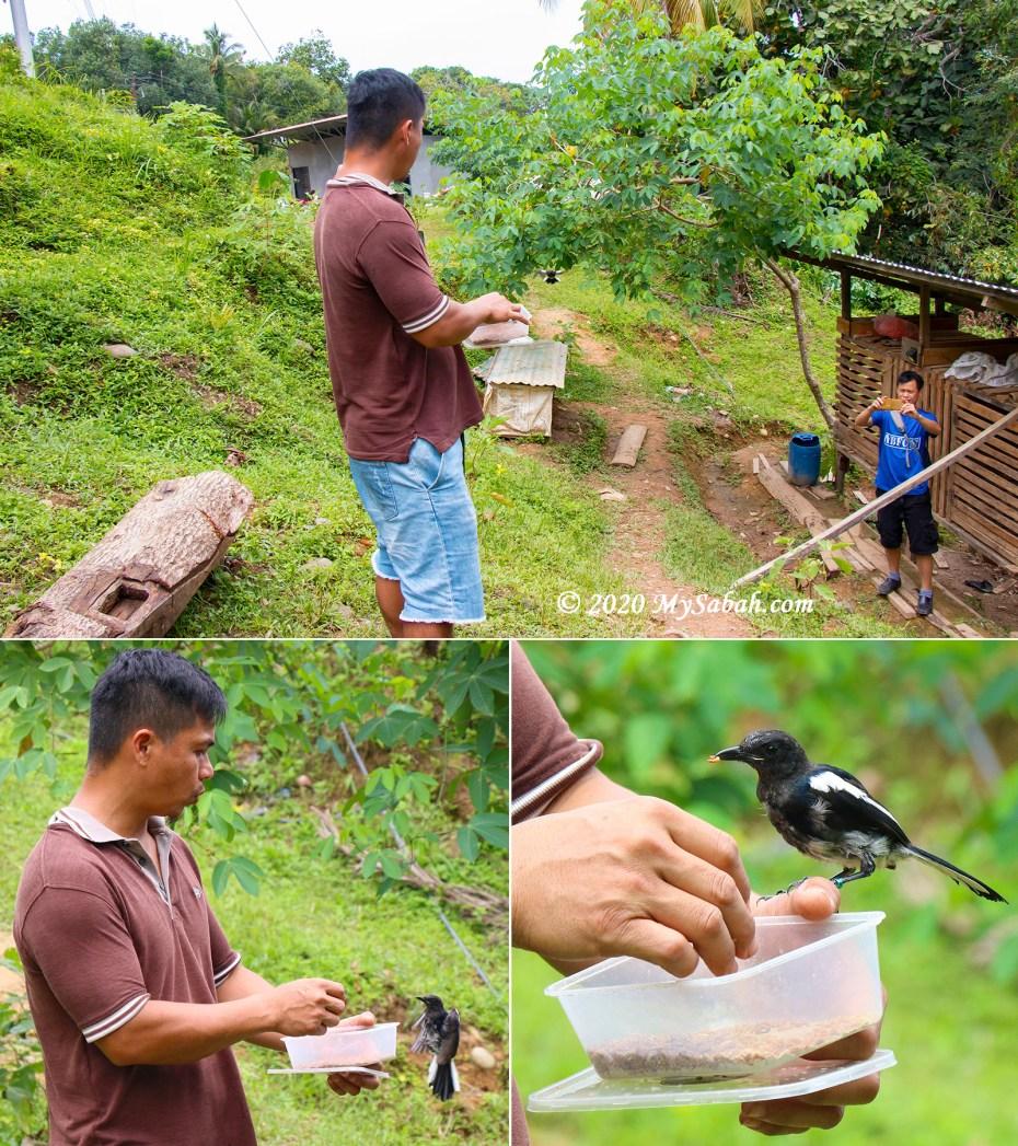 Calling and hand-feeding wild magpie robin birds