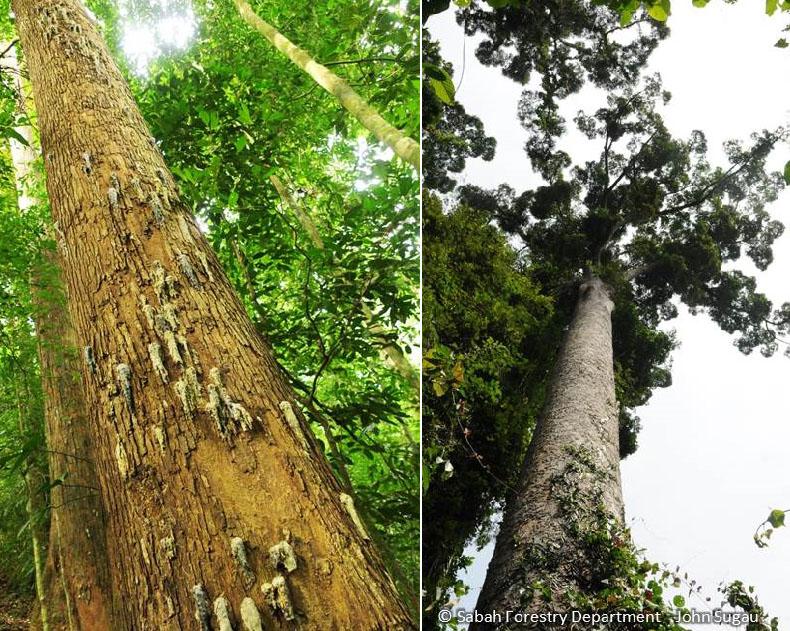 Left: snail-like resin of Yellow Meranti tree. Right: a towering Shorea faguetiana