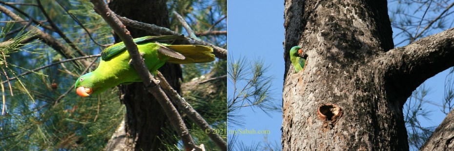 Blue-napped parrot of Tanjung Aru Beach