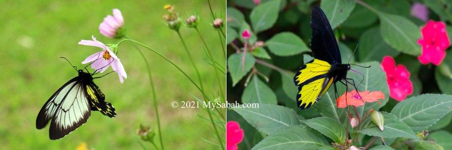 Borneo or Kinabalu Birdwing butterflies feeding on nectaring flowers