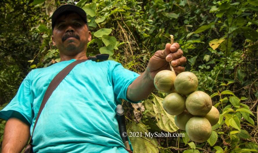 Liposu (Limpasu), the kindest tree of Borneo