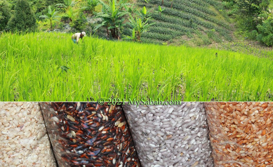Different types of hill paddy in Sabah