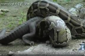 Πύθωνας τρώει αλιγάτορα