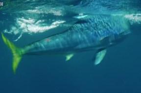 Απίστευτο διπλό κυνήγι σε ιπτάμενα ψάρια