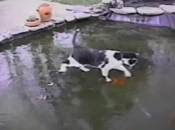 Γάτα κυνηγάει χρυσόψαρα πάνω από τον πάγο