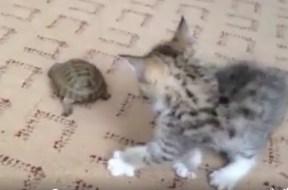 Γάτα και χελώνα