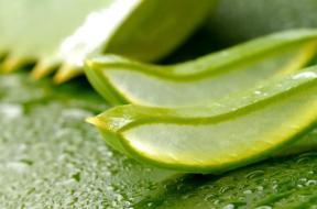 Αλόη, το φυτό της αθανασίας, το ραβδί του ουρανού